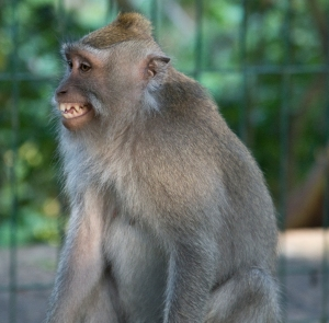 Monkey looks rather cross