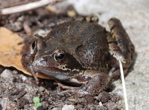 Rana temporaria, the common frog