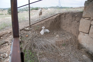 Kids trapped inside the enclosure and mum outside bleating